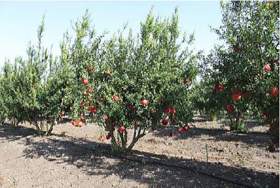 プリウトザクロ果樹農園の様子