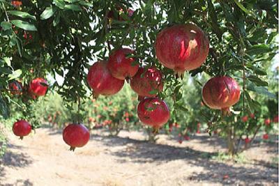 イスラエルのザクロ農園